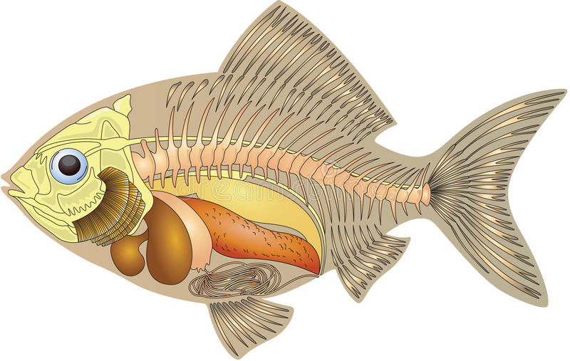 Anatomy of a fish royalty free illustration