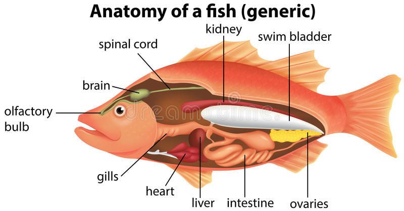 Anatomy of a fish stock vector. Illustration of generic - 59108235