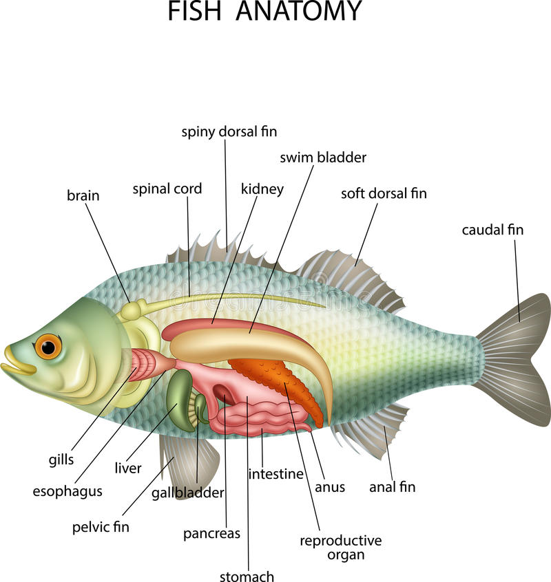 Anatomy of fish stock vector. Illustration of diagram - 82615676
