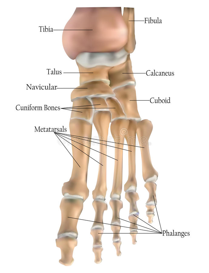 Anatomy of the foot bones stock illustration. Illustration of bone ...