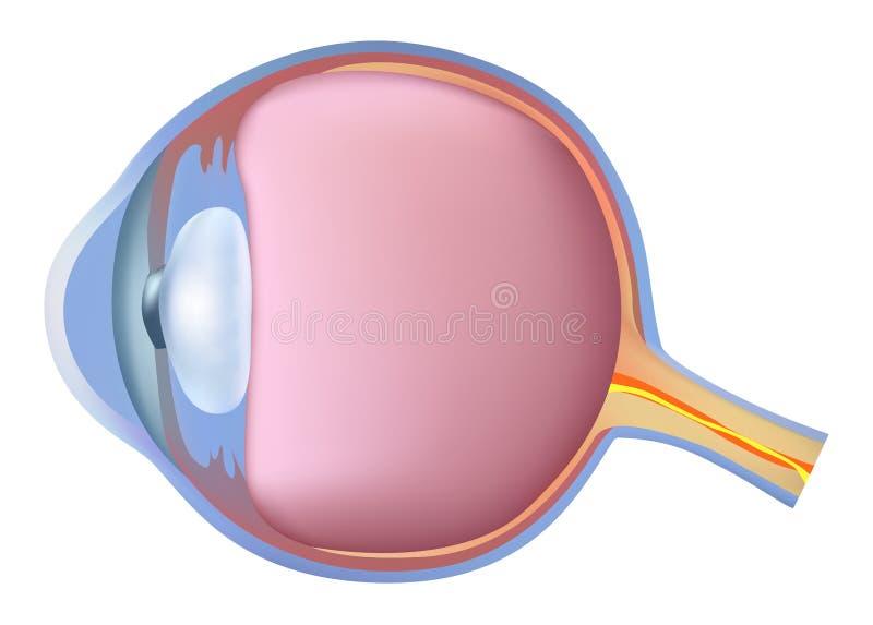 Anatomy of foot Eye. Anatomy of the eye on a white background vector illustration
