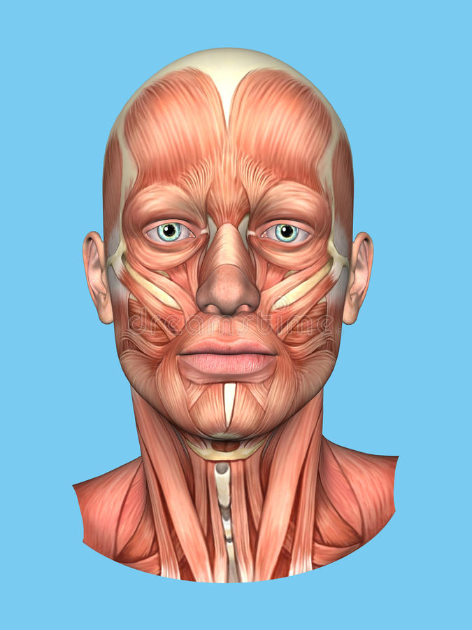 Anatomy Front View Of Major Face Muscles Of A Man Stock