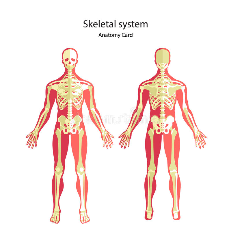 Anatomy guide of human skeleton. Anatomy didactic board of human bony system. Front and rear view. The human skeletal system. Anatomy guide of human skeleton stock illustration