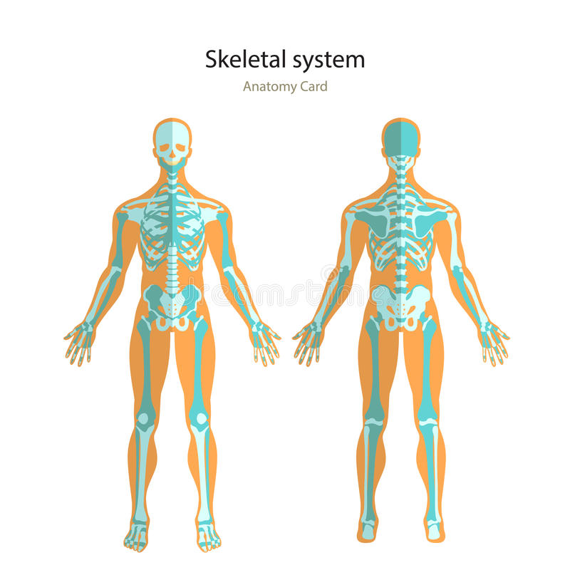 anatomy guide of human skeleton. anatomy didactic board of human, Skeleton