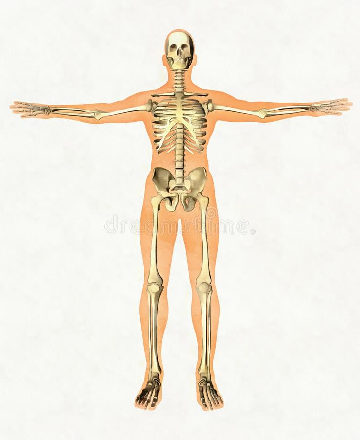 Anatomy guide of human skeleton. Didactic board of bony system. Front view stock photos