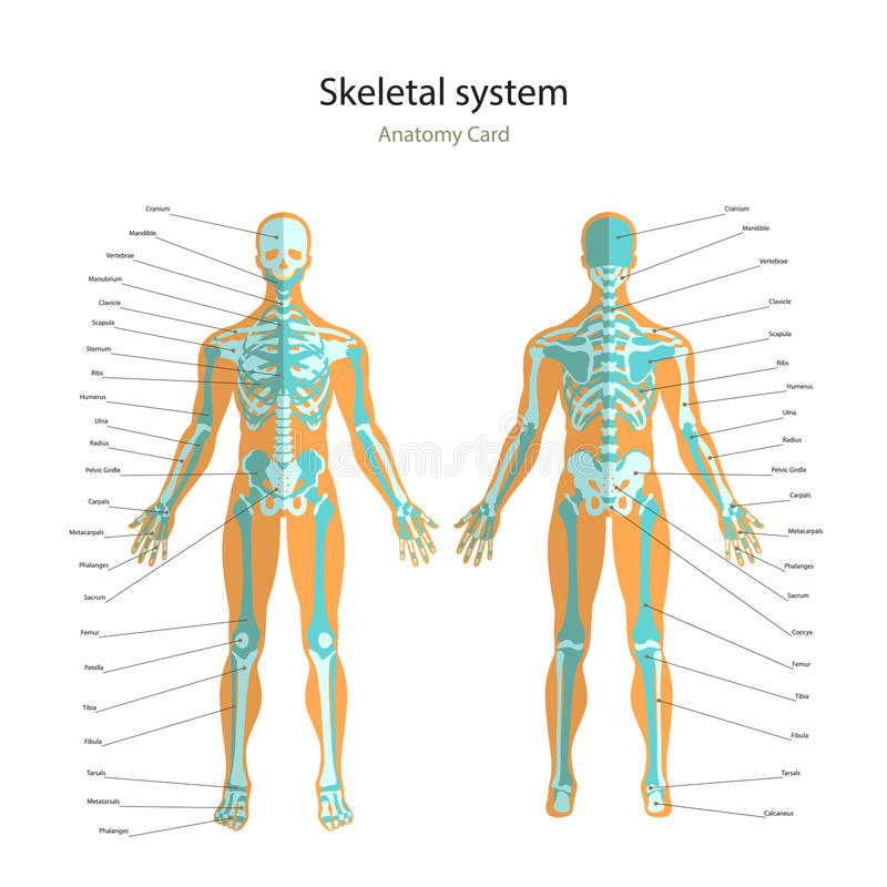 anatomy guide of human skeleton with explanations. anatomy, Skeleton