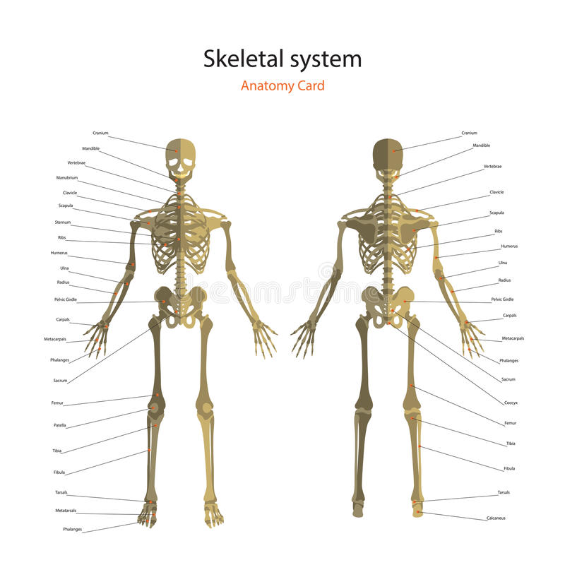 Anatomy guide of human skeleton with explanations. Anatomy didactic board of human bony system. Front and rear view. The human skeletal system with explanations royalty free illustration