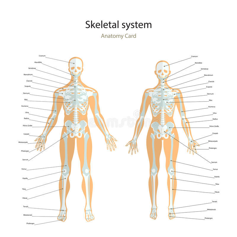 Anatomy Guide. Male And Female Skeleton With Explanations. Front ...