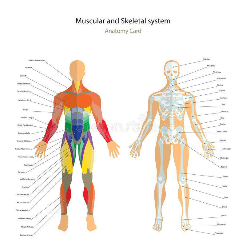 Anatomy guide. Male skeleton and muscles map with explanations. Front view. stock illustration