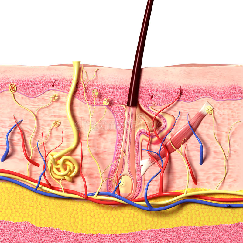 Anatomy of hair follicles vector illustration