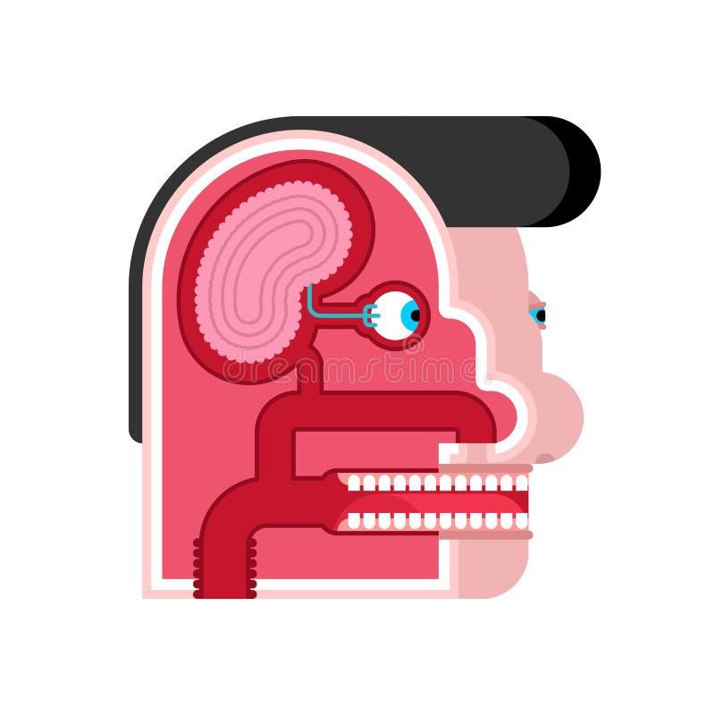 Anatomy Head cartoon Internal scheme. Brain and eye. Taste buds. Skull cut.  stock illustration
