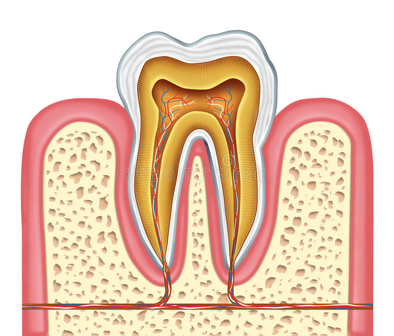 Anatomy of a healthy human tooth royalty free illustration