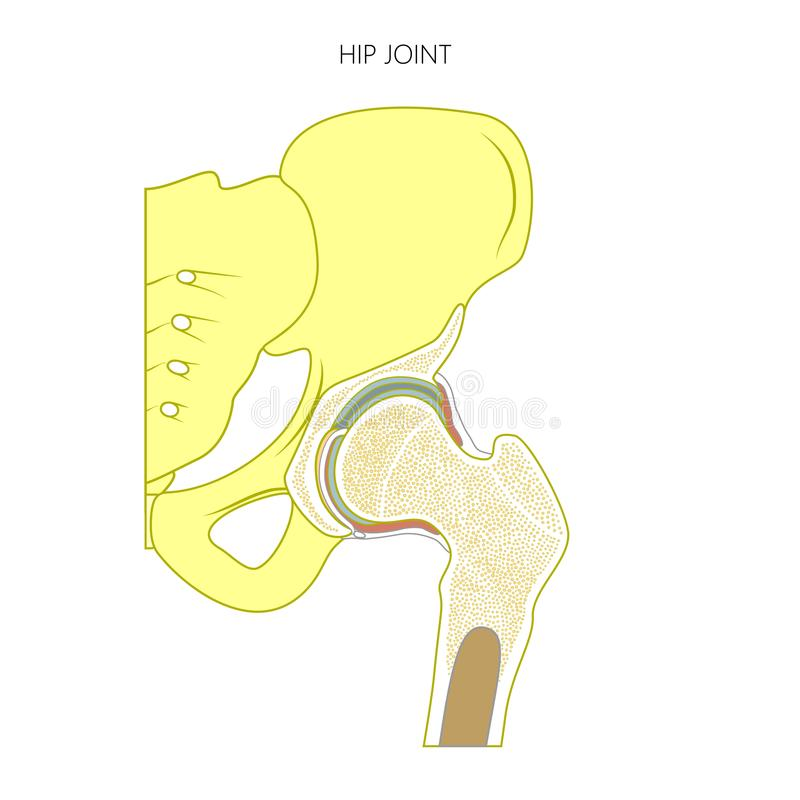 Anatomy_Hip skarv utan text vektor illustrationer