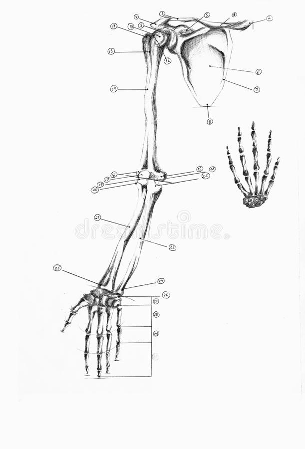 Anatomy Of Human Arm And Hand Stock Image - Image of sketch, drawing ...