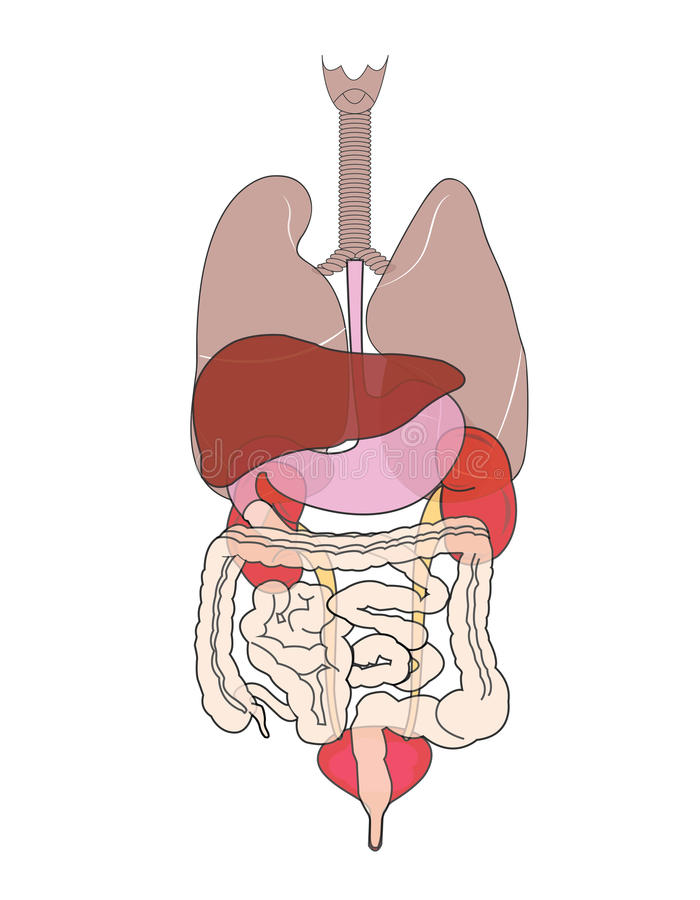 Anatomy vector illustration