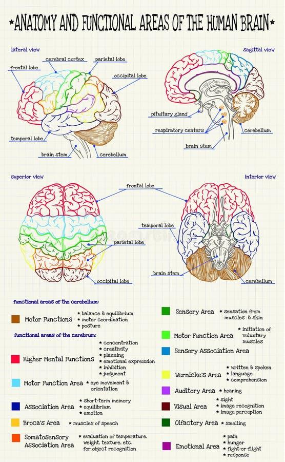 Anatomy of the human brain stock vector. Illustration of handwritten ...