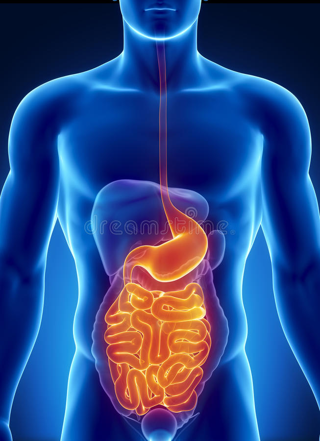 Download ANatomy Of Human Digestive System Stock Illustration - Image: 20642689