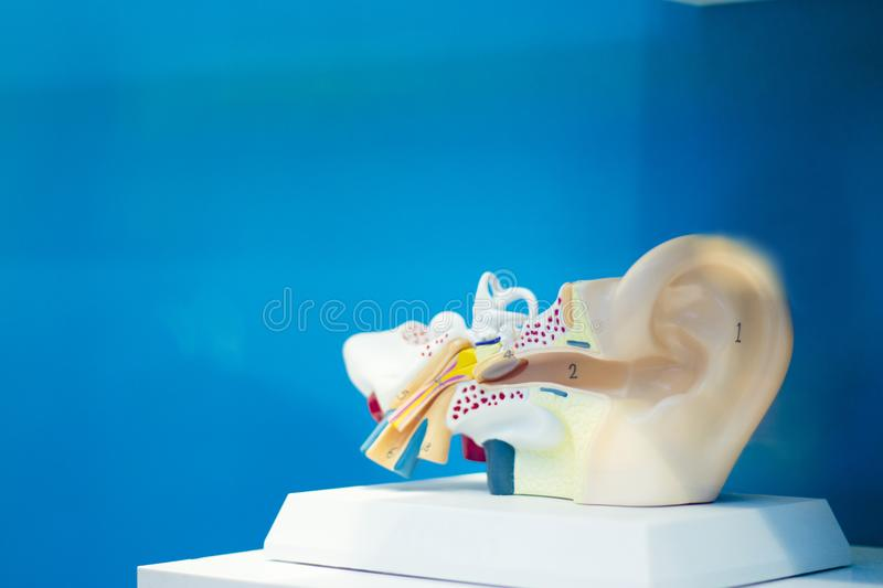 Anatomy of the human ear. With the internal parts that form it. No people stock image