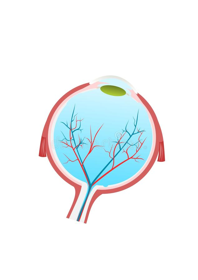 Anatomy of Human Eye. Human Eye Anatomy - Section - illustration stock illustration