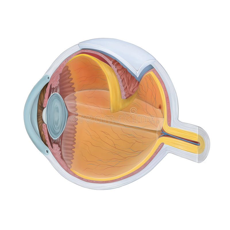 Anatomy of the Human Eye. Cross section royalty free illustration