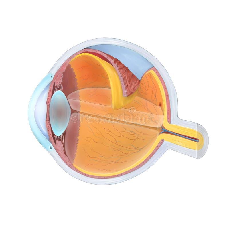 Anatomy of the Human Eye. Cross section royalty free illustration