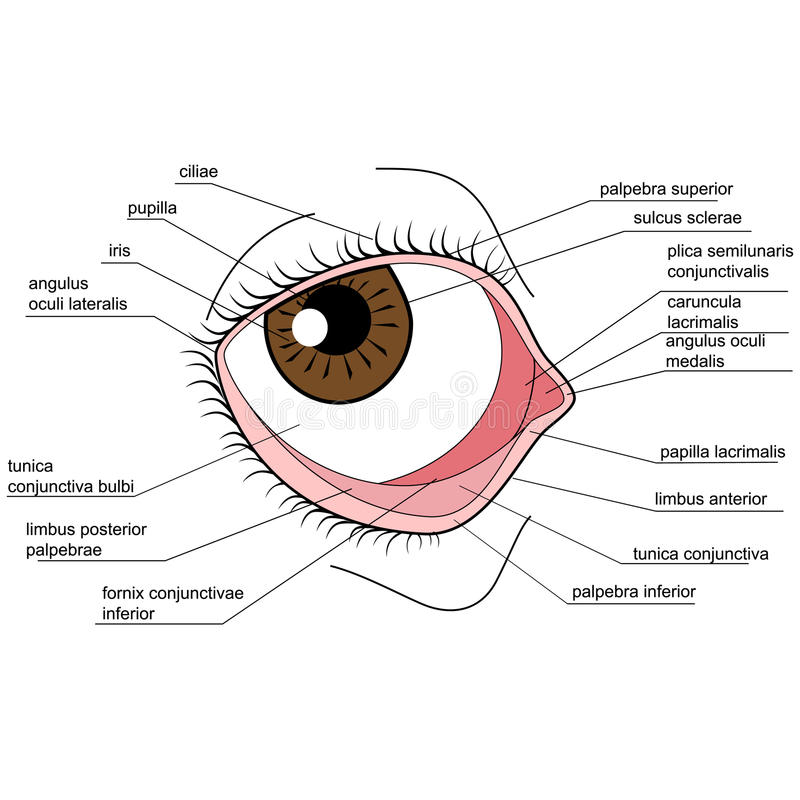 Anatomy of the human eye stock vector. Illustration of picture ...