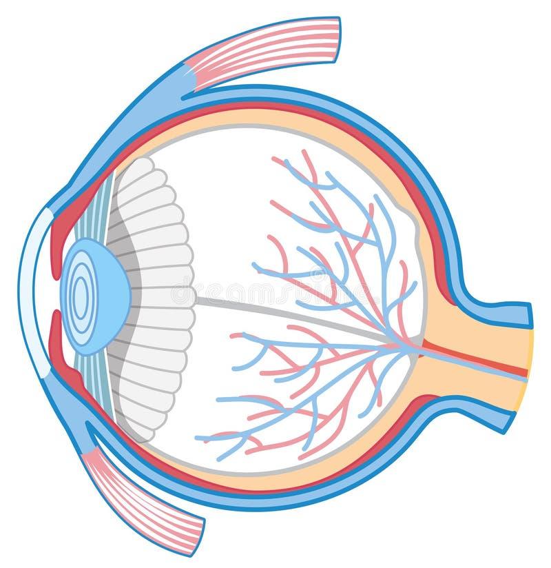 Anatomy of Human Eye. Illustration royalty free illustration