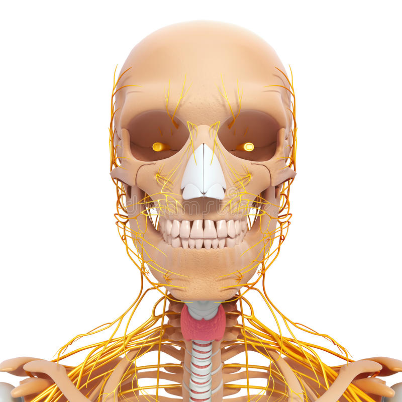Anatomy of human head nervous system with throat stock illustration