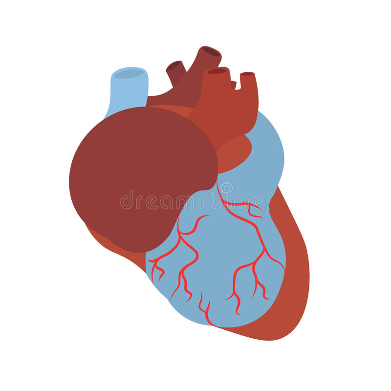 anatomy human heart vector stock vector illustration of line rh dreamstime com human heart vector free human heart vector drawing