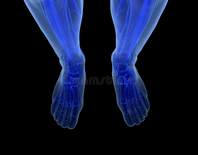 Download Anatomy of human Legs stock illustration. Image of body - 32191198