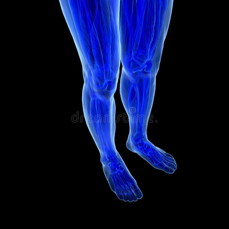 Download Anatomy of human Legs stock illustration. Image of biology - 32191209