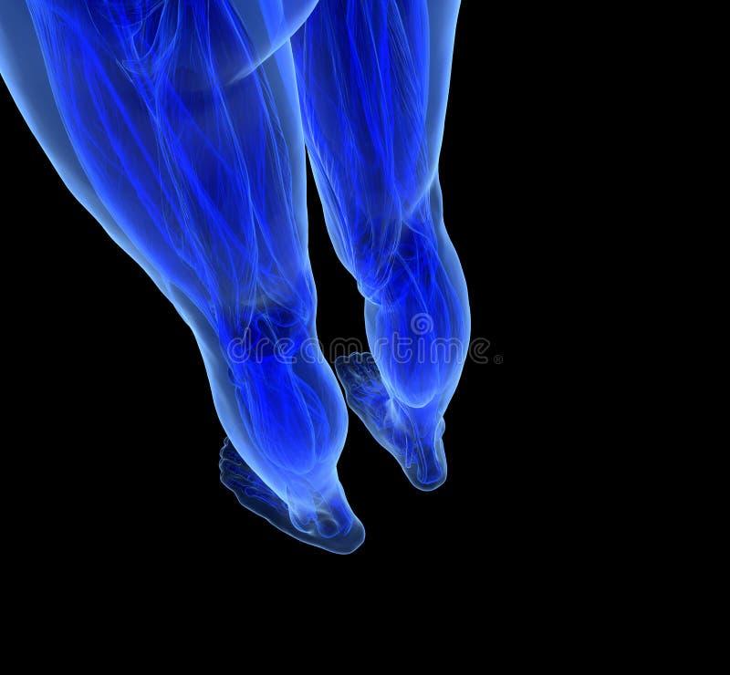 Download Anatomy of human Legs stock illustration. Image of blue - 32191225