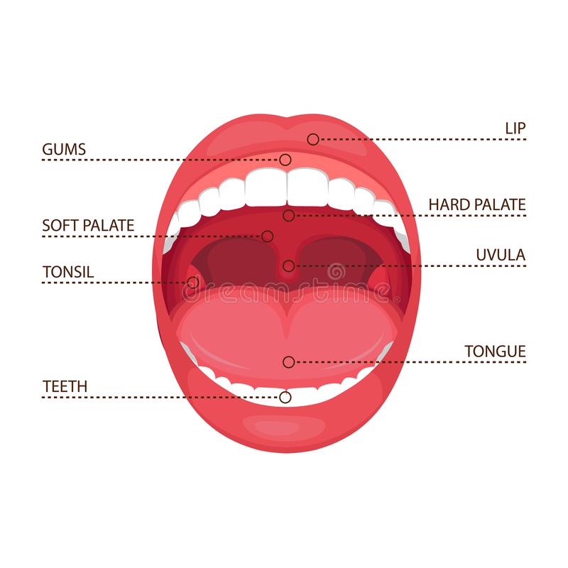 Anatomy human open mouth, medical diagram. Vector illustration of a anatomy human open mouth. medical diagram vector illustration