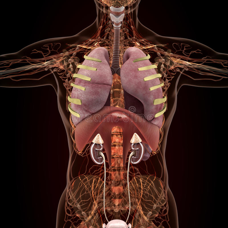 Anatomy Of Human Organs In X Ray View Stock Illustration