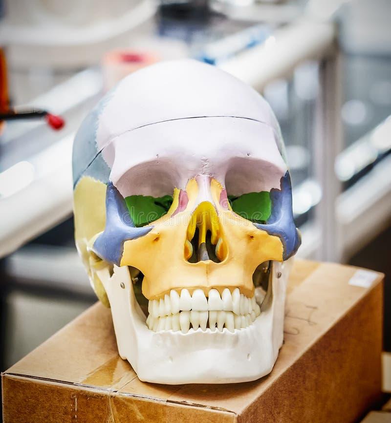Anatomy human skull model stock image. Image of medication - 109420889