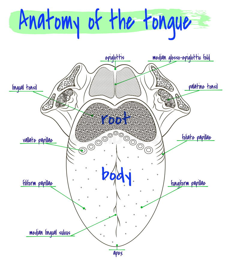 Anatomy of the human tongue royalty free illustration