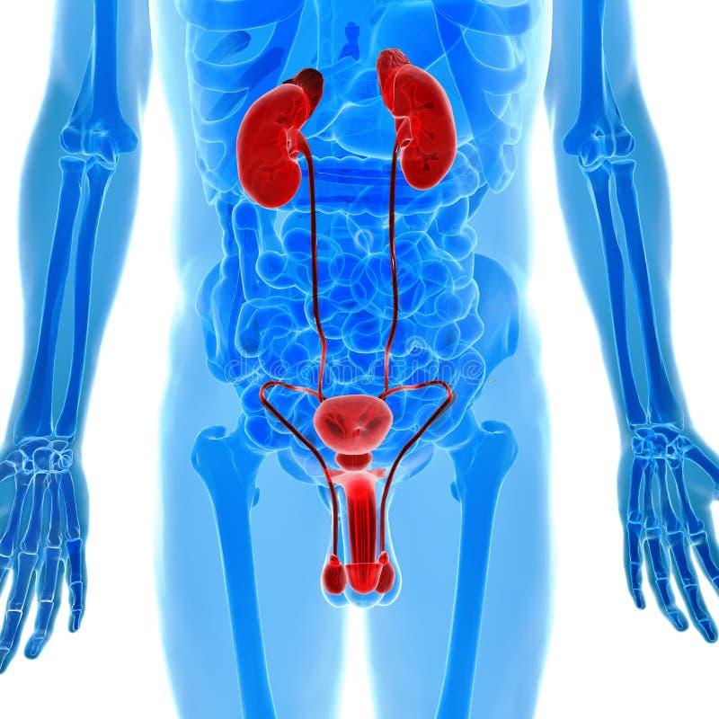 Anatomy of human urogenital organs in x-ray view vector illustration