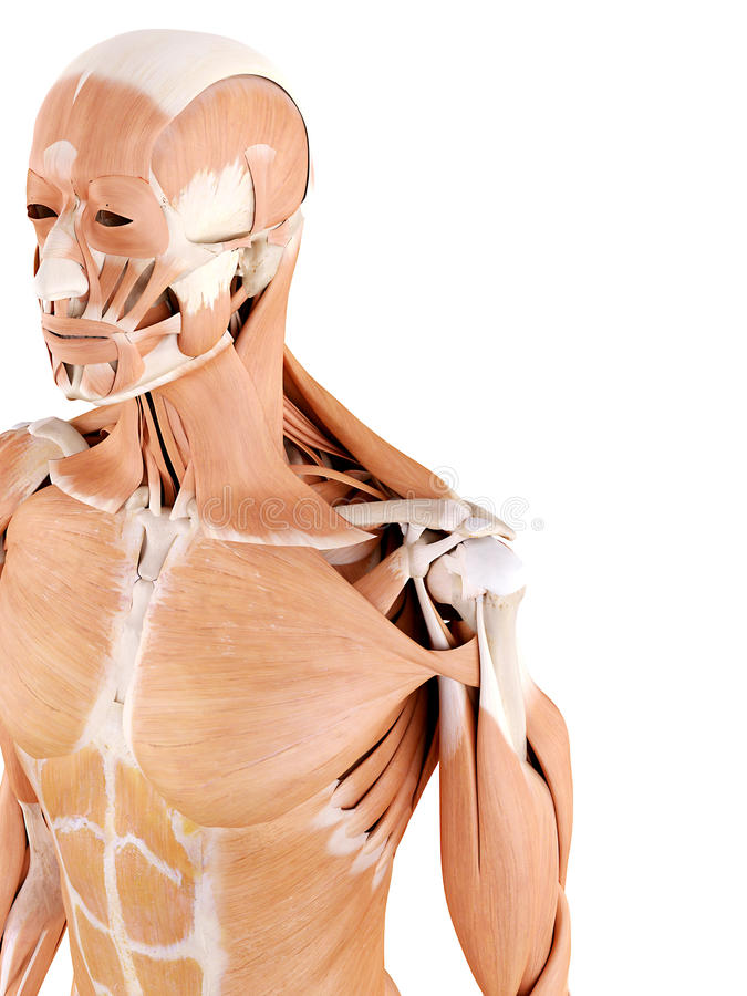 Anatomy illustration - shoulder muscles. Medically accurate anatomy illustration - shoulder muscles royalty free illustration