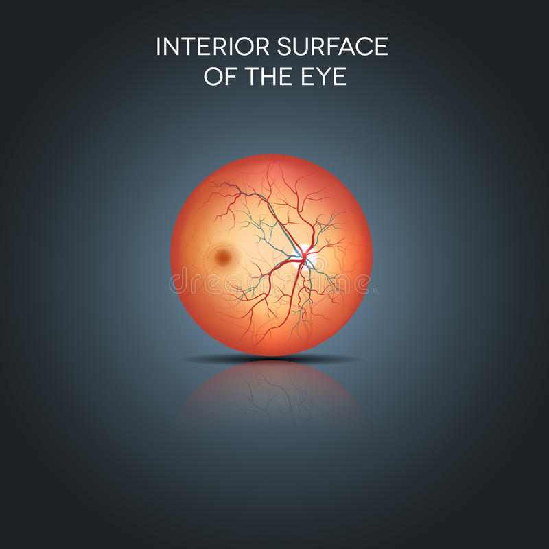 Anatomy Of The Interior Surface Of The Eye Stock Vector ...