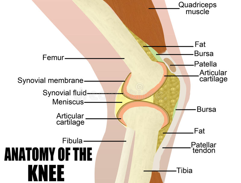 Anatomy of the knee royalty free illustration