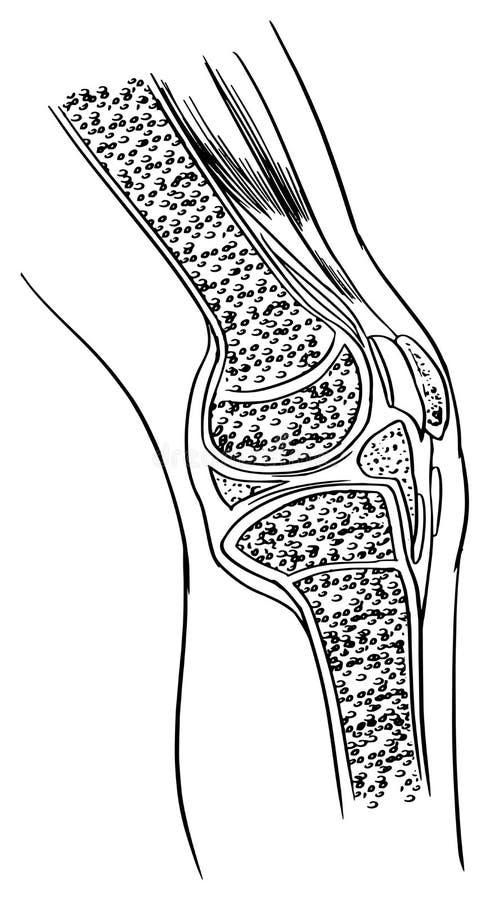 Anatomy of the knee joint stock illustration. Illustration ...