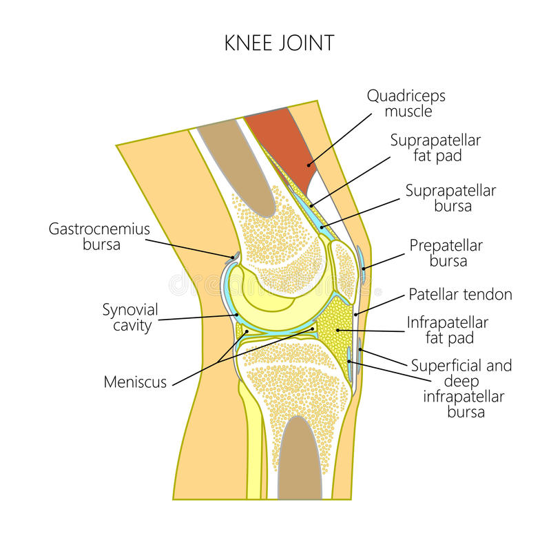 Anatomy of the knee stock vector illustration of fibula 98139784 download anatomy of the knee stock vector illustration of fibula 98139784 ccuart Image collections