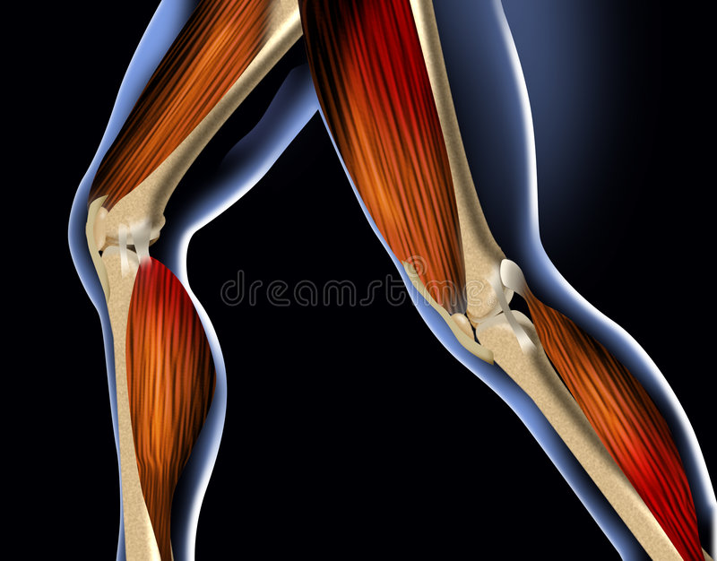 Download Anatomy leg stock illustration. Illustration of bone, medical - 2065212