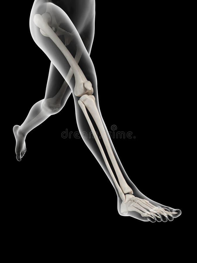 Anatomy of the leg bones. Woman running - visible anatomy of the leg bones vector illustration