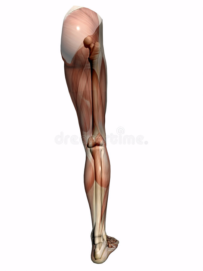 Anatomy a leg, transparent with skeleton. royalty free illustration
