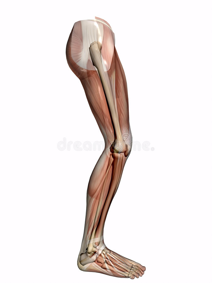 Anatomy a leg, transparent with skeleton. Anatomically correct medical model of the human body, muscles and ligaments showing transparent and skeleton projected vector illustration