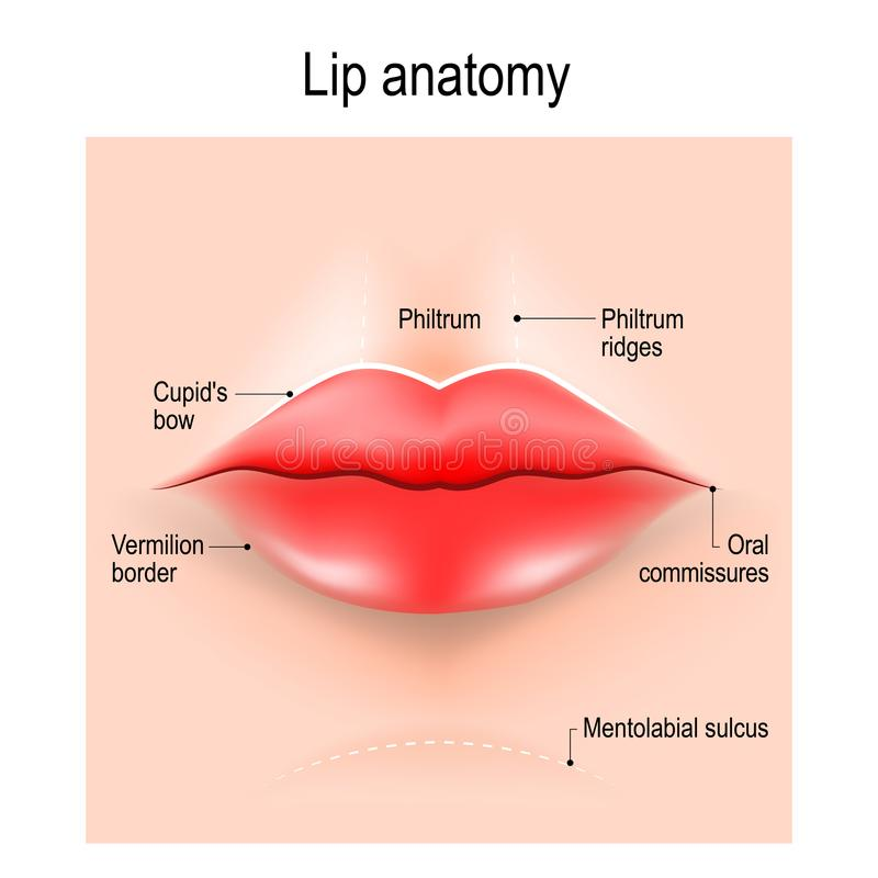 Anatomy of lips. Vector illustration for use in medicine, skin care, education, science, and cosmetic surgery stock illustration