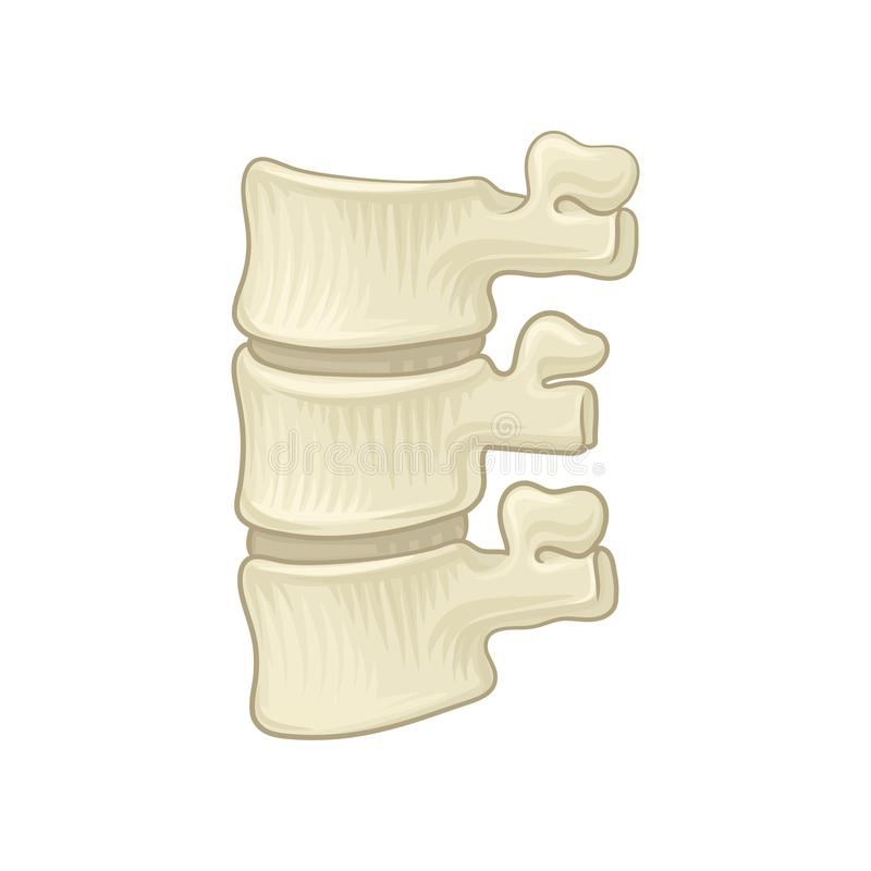 Anatomy of lumbar spine. Part of human backbone. Vertebral bones and intervertebral disks. Design for educational. Anatomy of lumbar spine. Part of human vector illustration