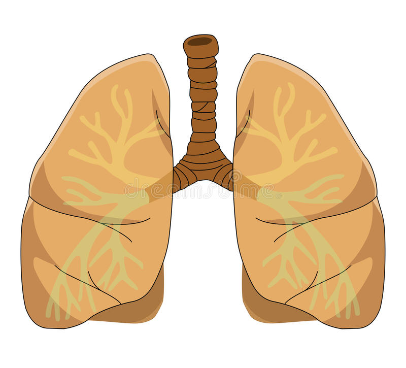 Anatomy of the Lung. Illustrations anatomy of the Lung on white background royalty free illustration