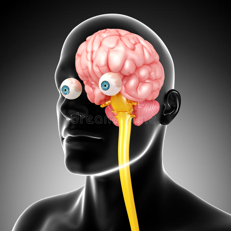 Anatomy Of Male Brain And Medulla Oblongata Stock Image